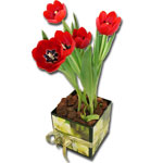 Tulipas in a box inverno